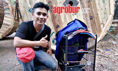 Cucak Hijau Kunto Wijaya Milik Abdul Rozak AAL SF Jakarta