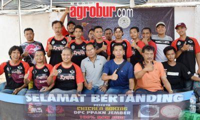 Kontes Ayam Nusantara Chicken Boxing Jember