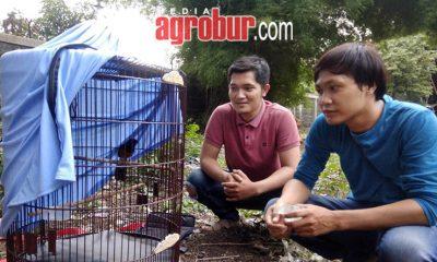 Murai Batu Baja Hitam Milik Hadi Jakarta