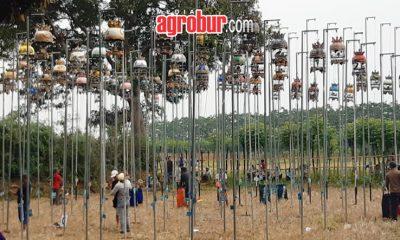 Latber Perkutut Kapasan Cup Pajarakan Probolinggo