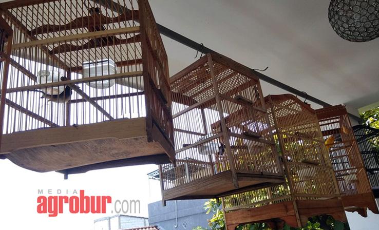 Ternak Murai Umi Kasum Jakarta