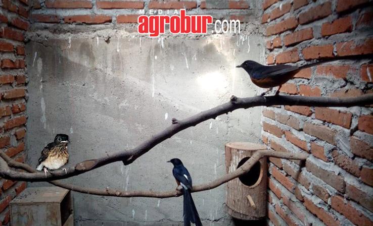 Breeding Murai Batu Heru Jakarta