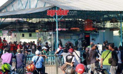media agrobur surabaya lomba burung hanzo cup I surabaya