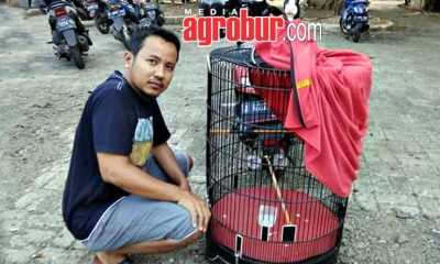 Murai Batu Jaguar milik Aris Jakarta