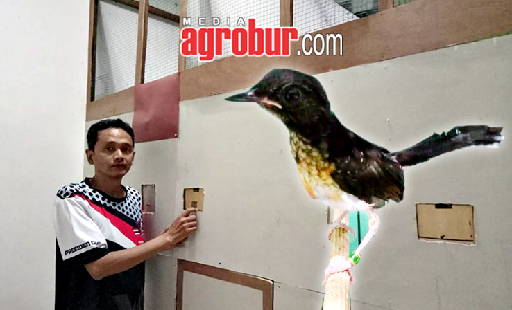 Breeding Murai Ojiey BF Jakarta